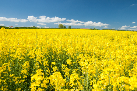 rape field and with blue sky Stock Photo