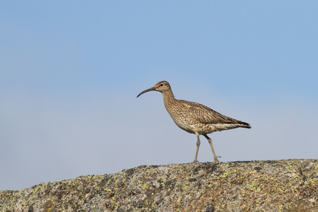 whimbrel in iceland
