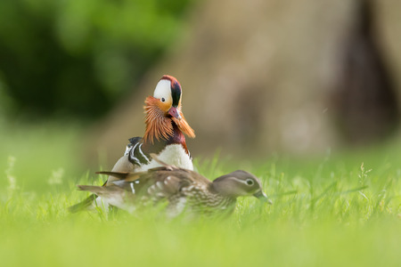 Two mandarin ducks in a meadow
