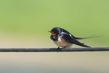 white perch: barn swallow sitting on an electric cable