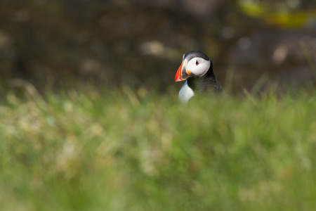 Atlantic puffin on a bird rock in Iceland