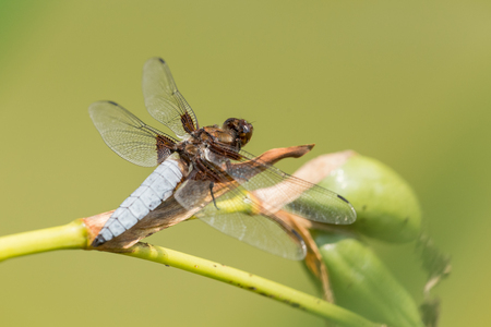Broad-bodied chaser perching on a bog plant Stock Photo