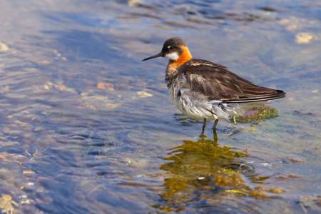 Red necked phalarope swimming in a hot spring in Iceland