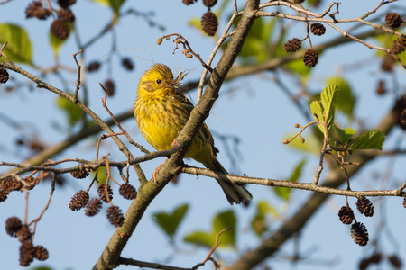 A yellowhammer bird on a tree branch