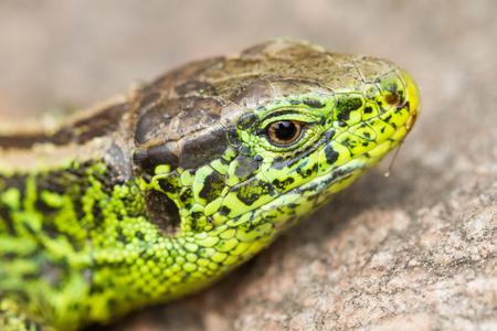 sand lizard (Lacerta agilis) 写真素材