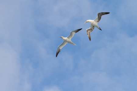 two flying interacting gannets Stock Photo