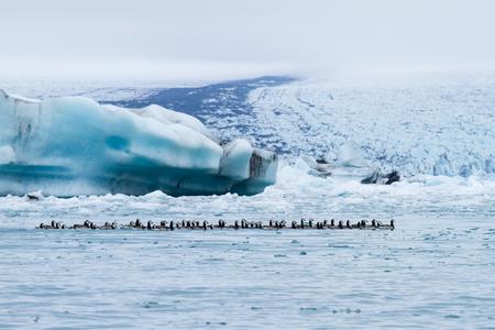 Barnacle geese swimming on Jokulsarlon glacier lagoon in Iceland