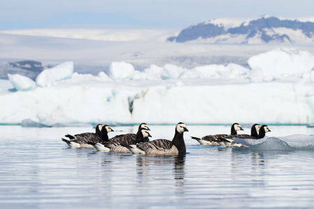 Barnacle geese swimming on Jokulsarlon glacier lagoon in Iceland