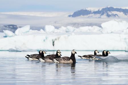Barnacle geese swimming on Jokulsarlon glacier lagoon in Iceland Stock fotó - 95081826