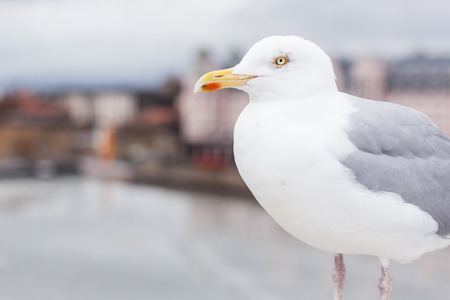 European gull in front of the  cityscape of Oslo Stock Photo