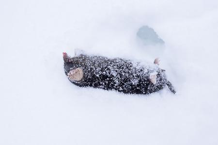 Dead mole lying in snow