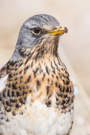 Portrait of a fieldfare (Turdus pilaris)