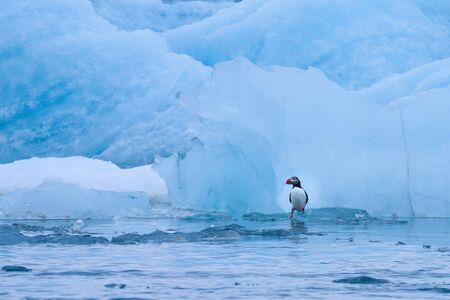 Puffin on Jokulsarlon glacier lake in Iceland