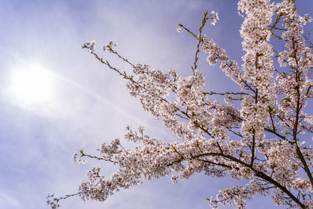 cherrytree: Picture of a nice Cherrytree at springtime