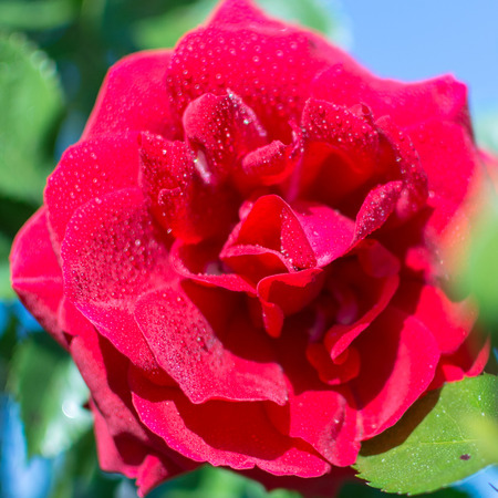 humane: lovely pretty red rose with water drops on Stock Photo