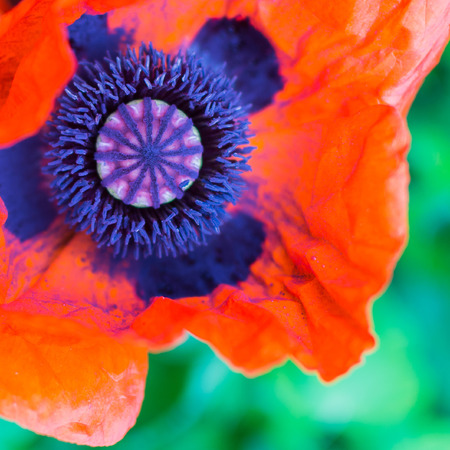 funy: bloom from a nice poppy red color