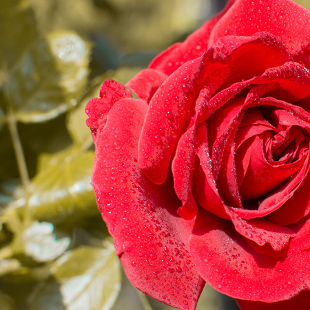 funy: picture of a wonderful red rose afetr a rain shower in sunlight