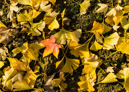 leafs: ginko leafs in autumn colors Stock Photo