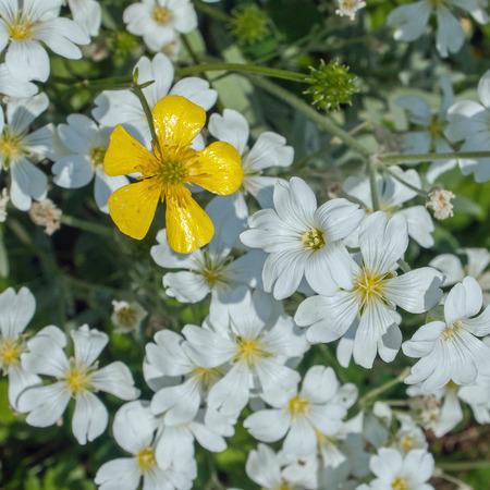 Bild Von Einigen Schönen Kleinen Weißen Blüten Mit Einem Gelben ...