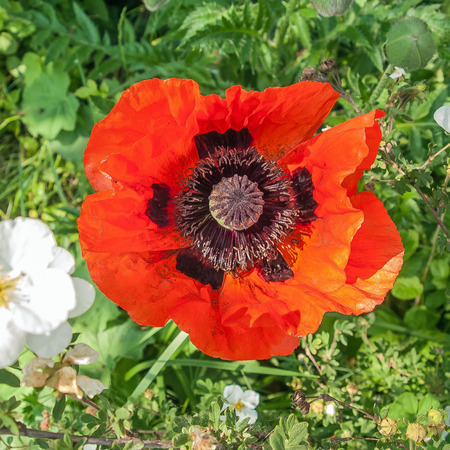 picture of a wide open red poppy