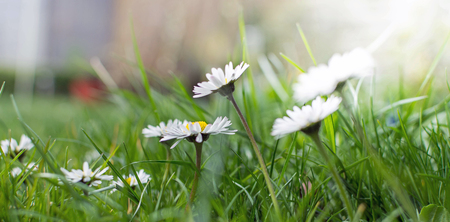 picture of lovely little dandelions at a meadow Stock Photo