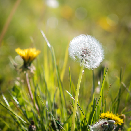 impression: lovely little dandelions at a meadow in morning sunlight - could use for illustration or background Stock Photo