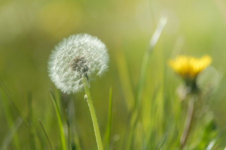 picture of a little dandelion in impressive sunlight - to use for illustration or background Stock Photo