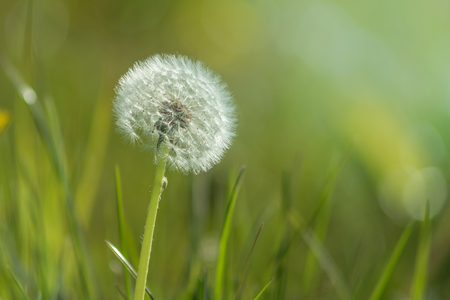 lovely little dandelion at a meadow in morning sunlight Stock Photo