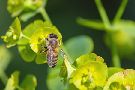 macro picture from a little bee working on a green flower - could use for illustration, background or others