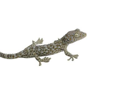 tokay gecko: Tokay Gecko isolated on white background.