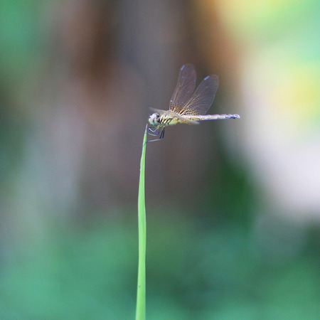 libellulidae: Dragonfly perched on the tip of a blade of grass The wind blew gently moving.