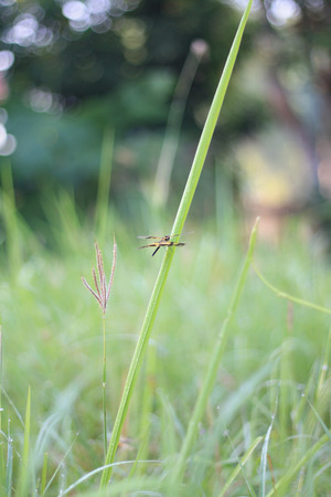 libellulidae: Dragonfly perched on grass The wind blew gently moving.