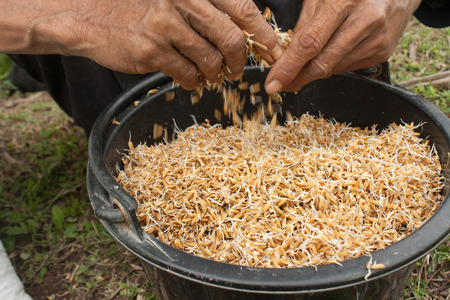 scatters: still life-Preparation of grain to sow seedlings. Stock Photo