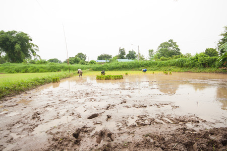 successors: Farmers to plant rice by the rice seedlings. Thailand lifestyle farmers.