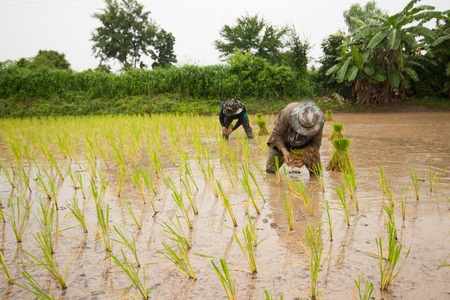 successors: Thailand farmers are farming rice with black lace. Stock Photo