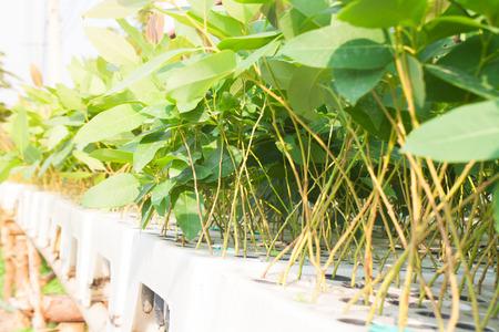 belonging: Seedlings of eucalyptus saplings belonging.