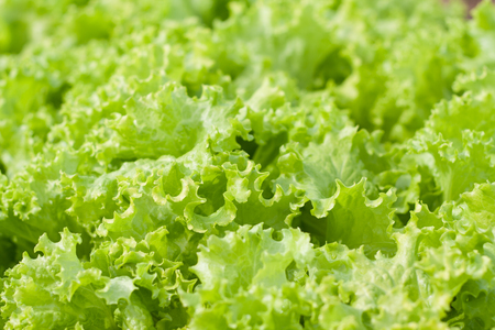 abstract Background green leafy vegetables, lettuce. organic vegetable.