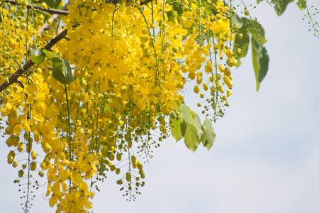Cassia Fistula, yellow flower Clear sky background Imagens