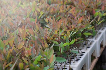 Eucalyptus seedlings in the nursery for sale. Imagens - 85263380