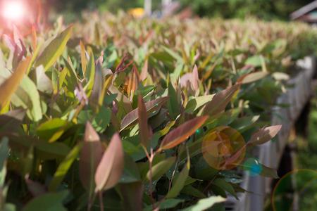 Eucalyptus seedlings in cultivated plots. Fair lens effect. Stok Fotoğraf