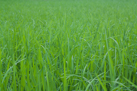 Green rice fields in Thailand. Imagens - 87396137