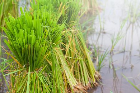 Rice seedlings in water prepared black. In the growing season of Thai farmers. Imagens - 87396139
