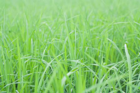 Green rice fields in Thailand.