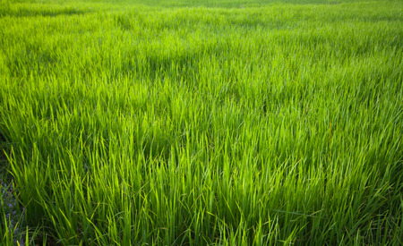Abstract backgrounds. Green rice leaves abundant. Imagens