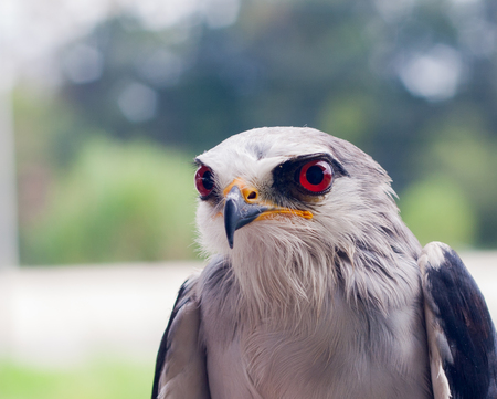 Red eyes of the falcon