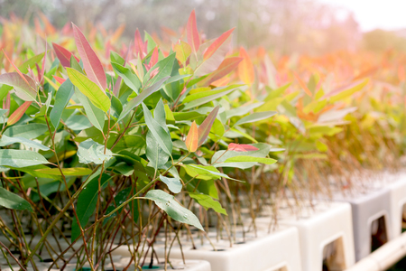 Eucalyptus seedlings in cultivated plots. close up Imagens