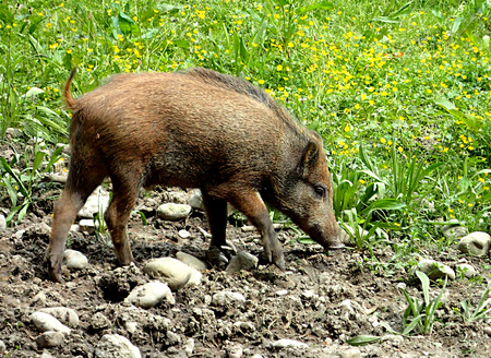 nickle: Sunny summer young wild boar decided to have lunch. Stock Photo