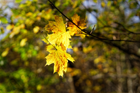 Autumn mood - view of colorfully colored leaves, which have got stuck on a branch as they fall off, background blur, autumn colors - Location: Germany Reklamní fotografie