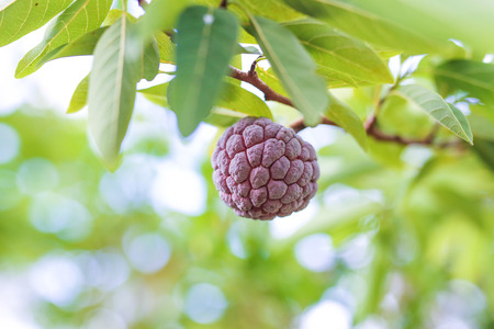 Purple custard apple fruit in the tropical plantation Stock Photo