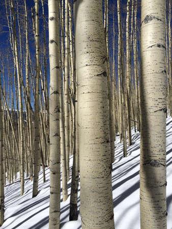 Aspen Trees on Sunny Winter Day Stock fotó - 32264652